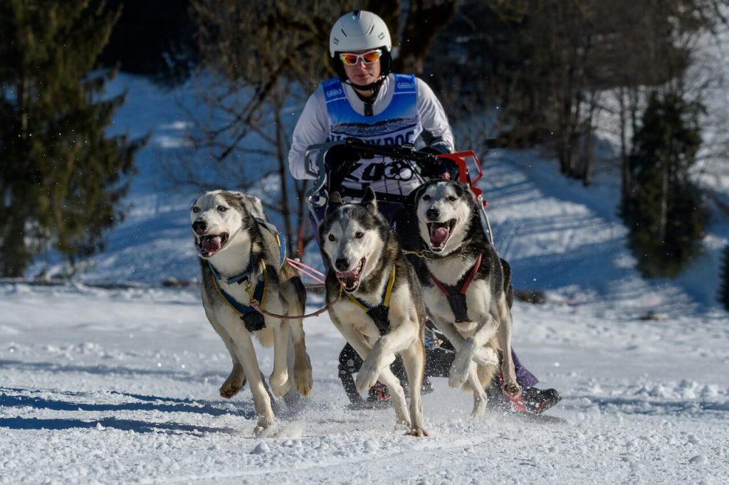 canivtt cani ski chien sports