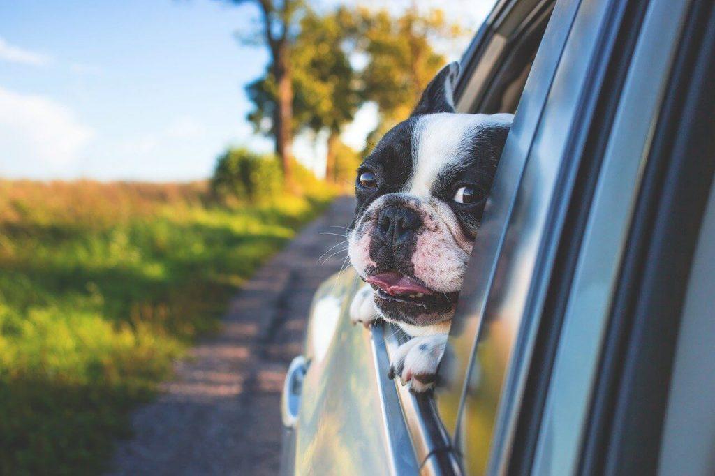 harnais chien voiture