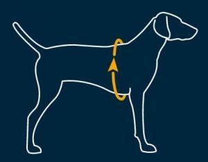 guide taille chien tour de cage thoracique