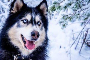 husky caractère comportement et morphologie
