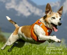 Curli harnais pour chien Jack Russel