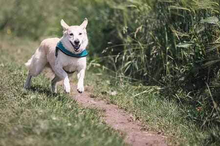 canicross chien blanc